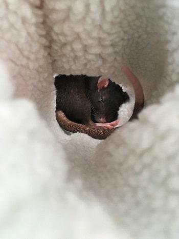 גללים של עכבר או חולדה