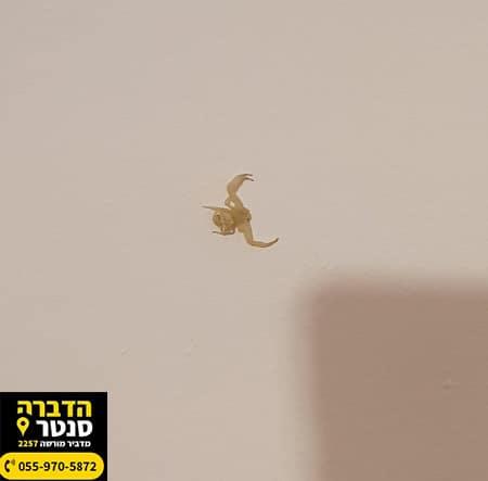 עקרב קטן בבית