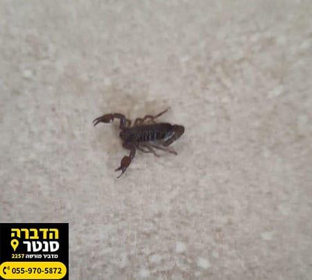 עקרב שחור שחרן יהודה